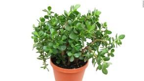 purifyingplant1